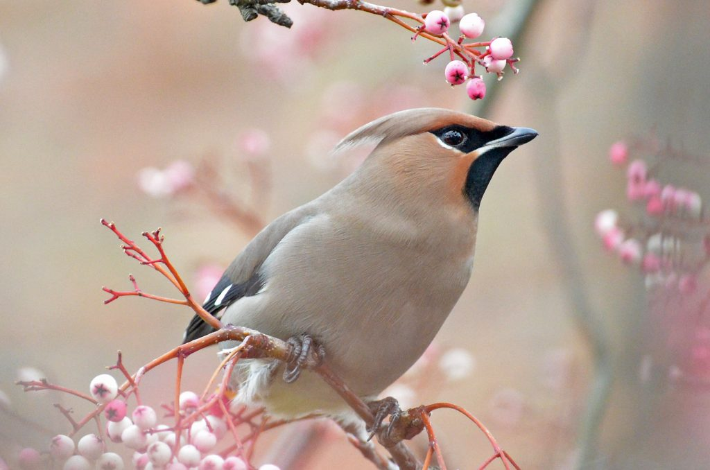 Waxwings on Rowan by Mike Caiden