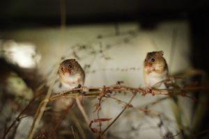 Meet the Harvest Mice! @ Horsenden Farm